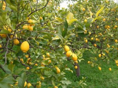 Zitronenhain auf Mallorca